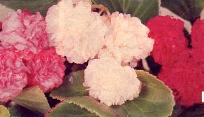 Bégonias à fleurs doubles