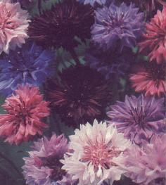 Centaurées Polka Dot