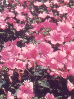 Lavatera Mont Rose
