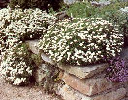 Muret fleuri