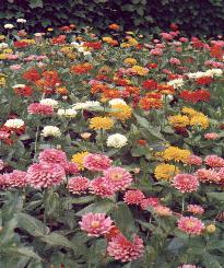 Zinnias à fleurs de Dalhia