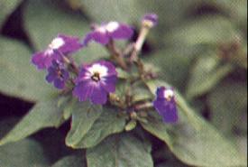 browallias Amethyst