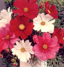 cosmos Early Sensation Giant