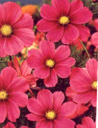 cosmos Imperial Pink