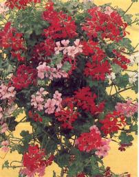geranium lierre