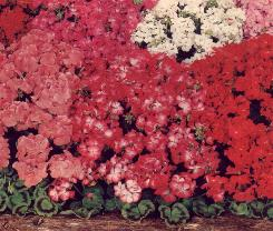 geraniums2