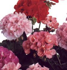 geraniums3