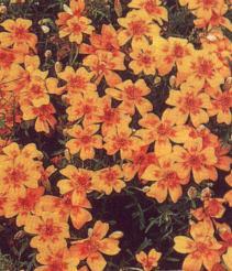 oeillet d'inde marigold