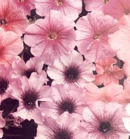 petunias floribunda Madness