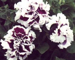 petunias grandiflora double Pirouette