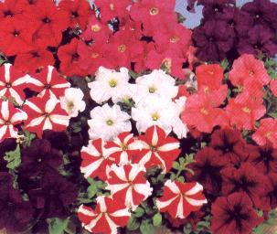 petunias milliflora Fantasy