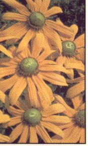rudbeckie Irish Eyes