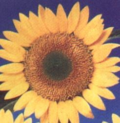 soleil Sunbeam