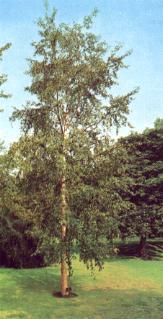 Bouleau Utilis avec son écorce orangé