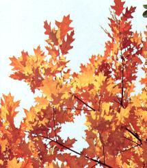 Le feuillage du chêne rouge
