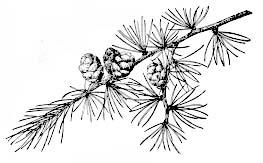 larix-laricina