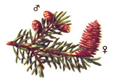 picea-fleurs
