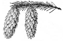 picea-sitchensis