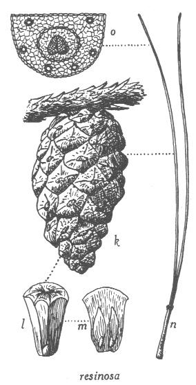 pinus-resinosa