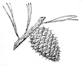 Cones pinus-rigida