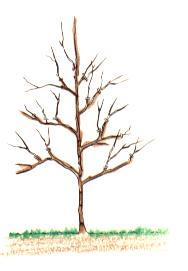taille à la plantation d'un arbre