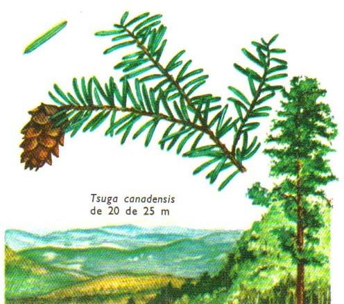 tsuga-canadensis