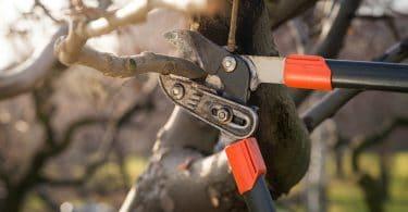 Taille du pécher a l'aide d'un coupe branche