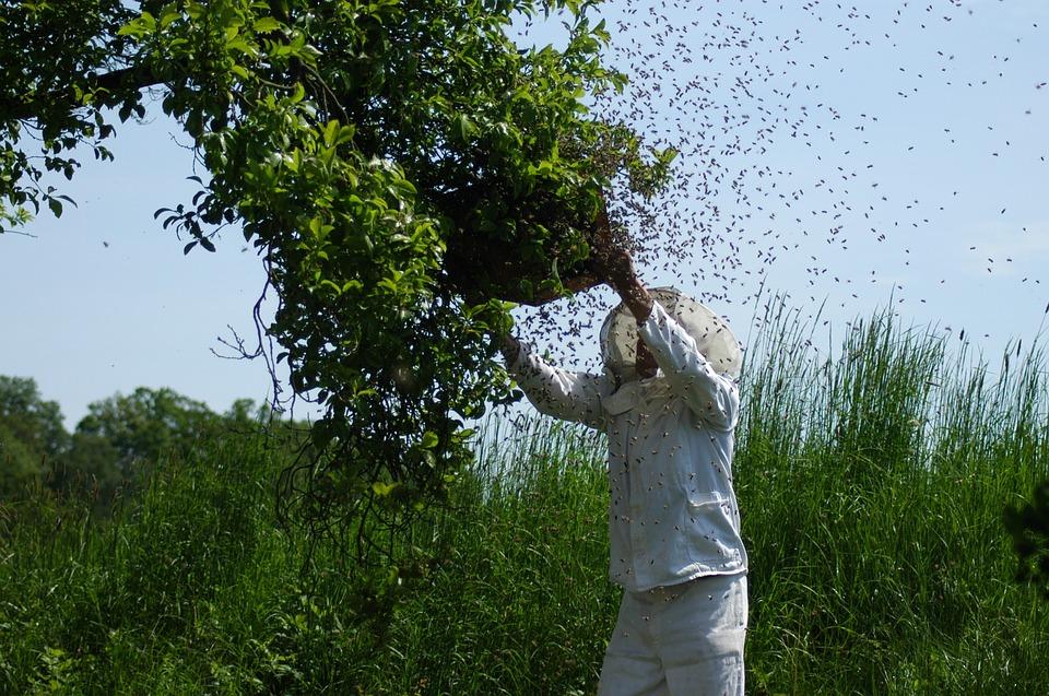 Essaim d'abeilles sauvages